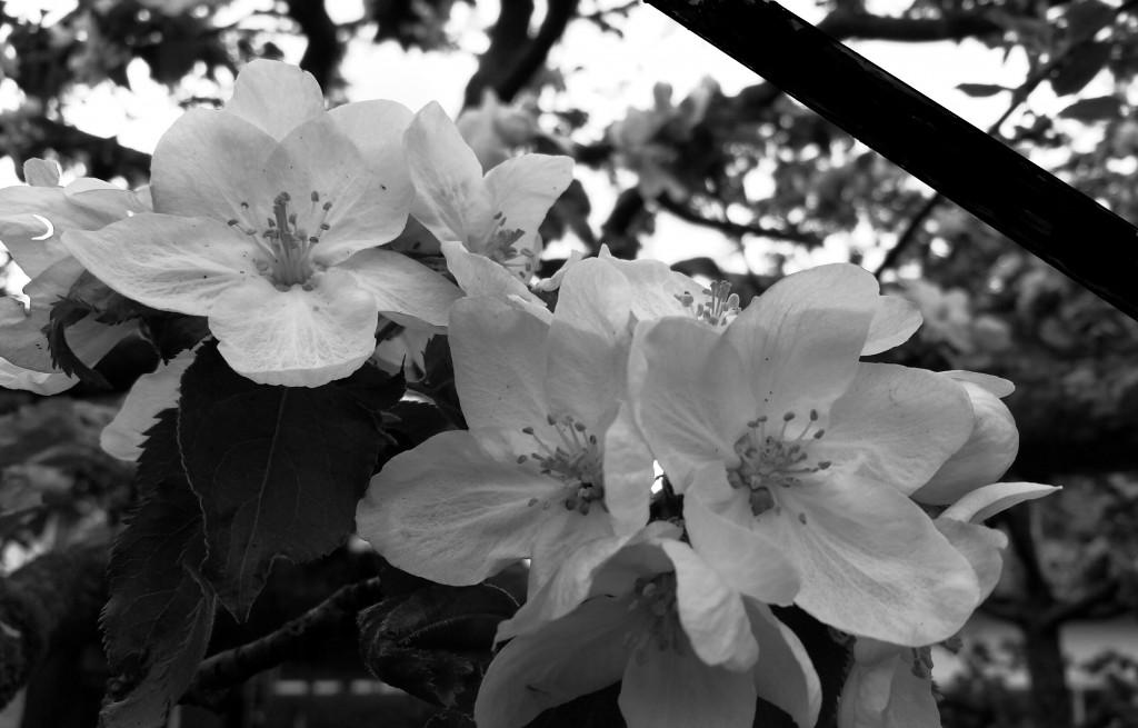 2015-04-28 19.33.26 schwarz weiß Blumen